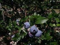 Glenhaven_blueberries_2_2