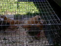 Kingbird_farm_chicks_2